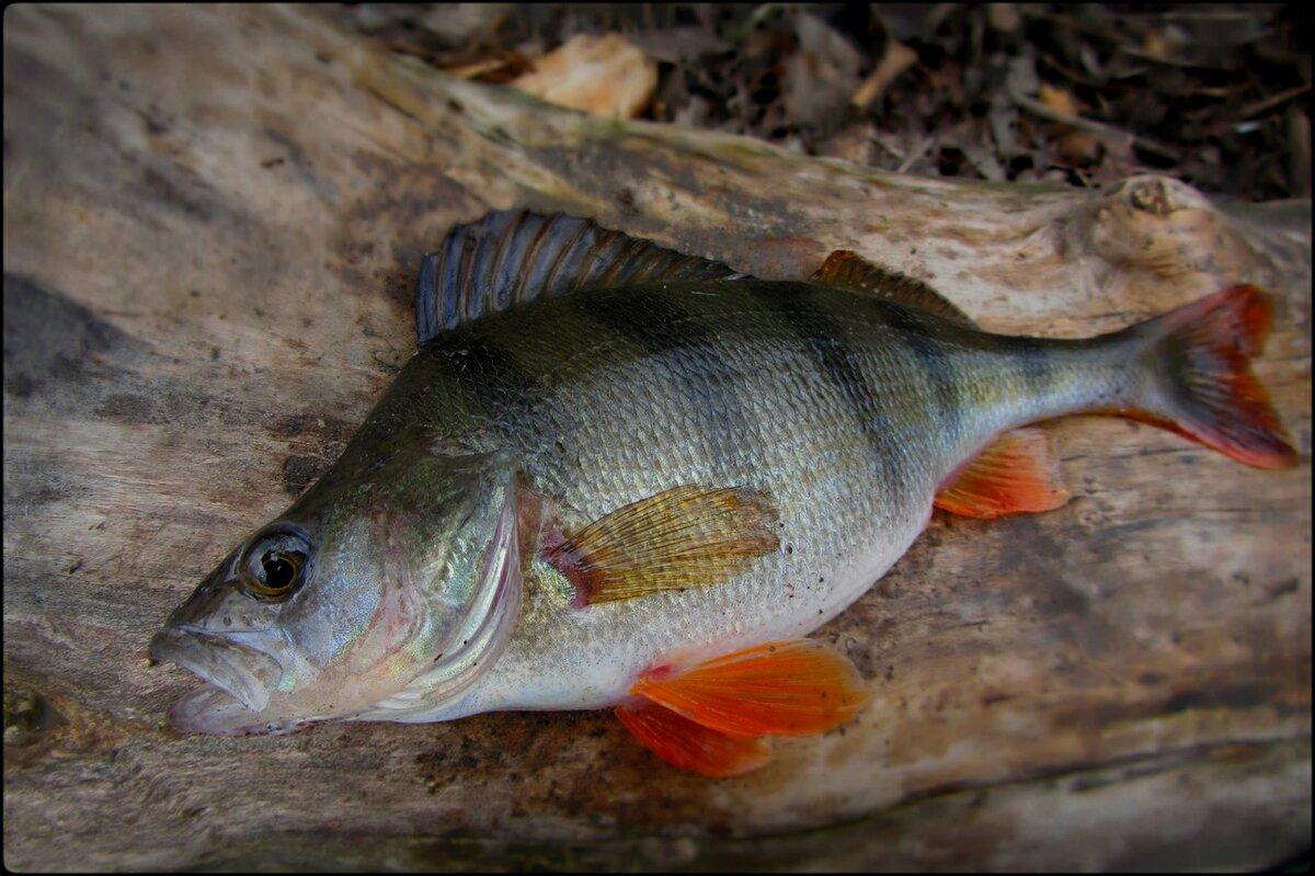 фото речной рыбы с горбинкой интернете